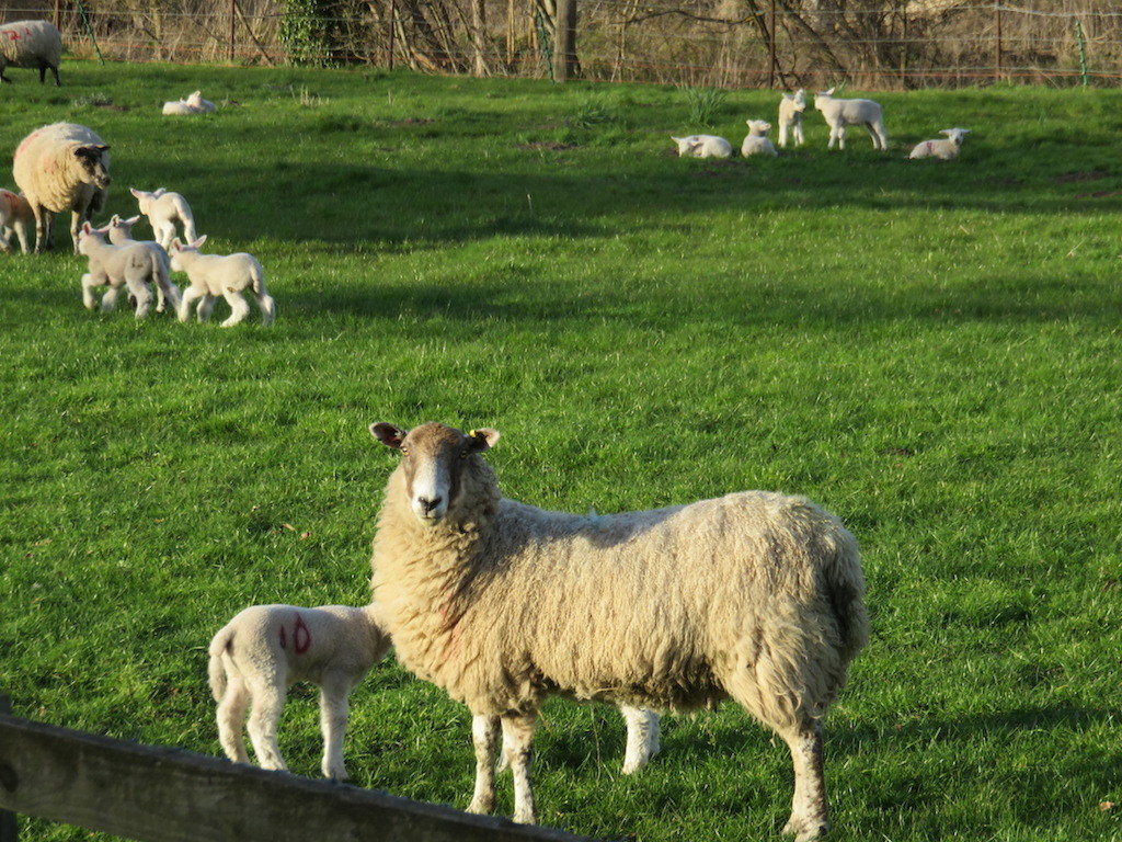 Sheep at Fordham Abbey